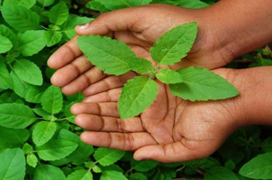 Basil (Tulsi) benefits and side-effects in hindi